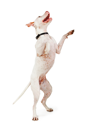 A big Pit Bull crossbreed dog standing up on his hind legs begging with a smiling and happy expression