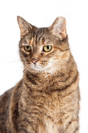 Portrait of tabby cat with ear clipped to indicate it is feral, spayed and sterilized