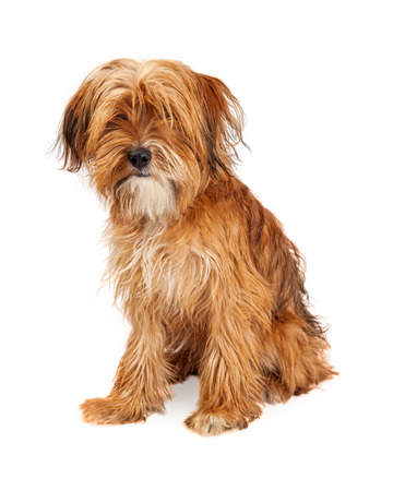 shaggy: Adorable young mixed breed dog with long shaggy hair covering his eyes - Isolated on white