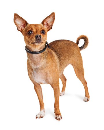 lapdog: Cute little Chihuahua dog with perky ears standing on a white background Stock Photo