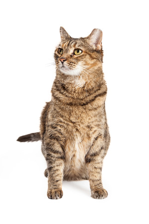 tipped: Tabby cat with tipped ear sitting down on a white background and looking up and to the side