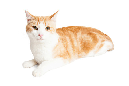 orange cat: Beautiful orange and white color adult cat laying over white background