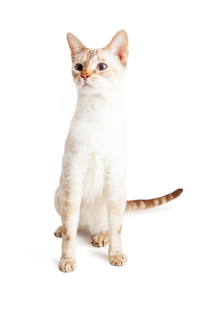 sit on studio: Cute little light color Siamese mixed breed kitten sitting up tall