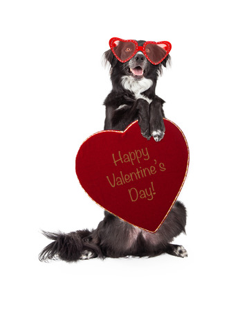 smile please: Funny photo of a Border Collie dog wearing heart-shaped glasses sitting up and holding a box of Valentines Day candy