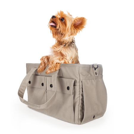 lapdog: Cute little Yorkie dog sitting up in a designer carrier Stock Photo