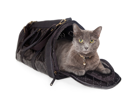 cat carrier: Adult domestic short hair cat laying in an airline travel carrier
