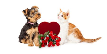 puppy love: gatito lindo y cachorro mirando el uno al otro con la caja del coraz�n D�a de San Valent�n dulces y rosas