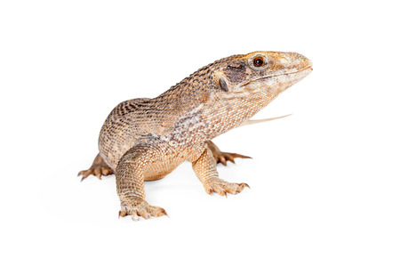 herpetology: Savannah monitor lizard looking to the side on a white studio background