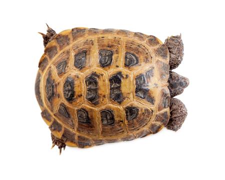 Shell van een Russische Tortoise - View from above