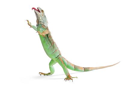 튀어 나와 혀를 걷고 흰색 배경에 서 녹색 이구아나 도마뱀의 재미 있은 사진 스톡 콘텐츠 - 51718859