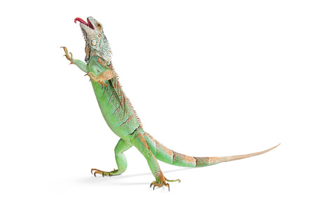 Funny photo of a green iguana lizard standing up on white background walking with tongue sticking out