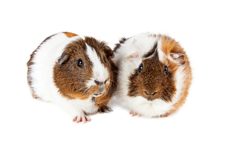 cavie: Two pet guinea pigs laying together on a white studio background