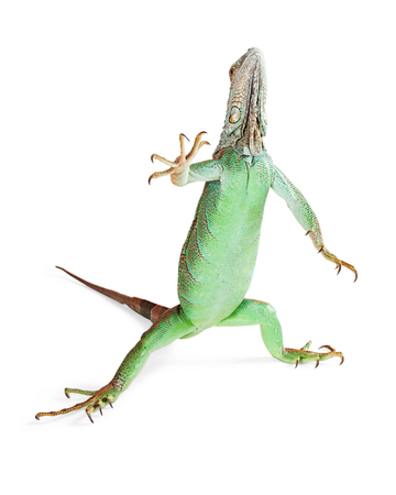 herpetology: Funny photo of green iguana lizard standing up and raising hand in air Stock Photo