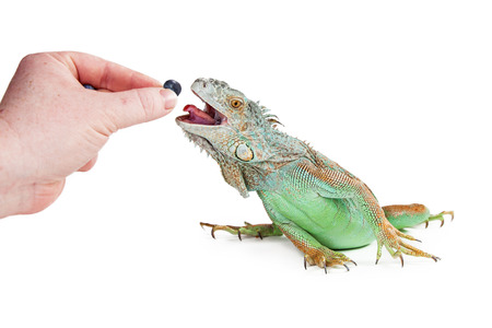 hand in mouth: Hand of a person feeding a blueberry to a pet iguana reaching out with mouth open and tongue out Stock Photo