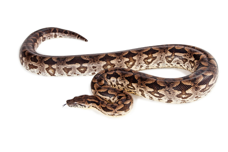 Beautiful Dumeril's Boa snake laying on a white background