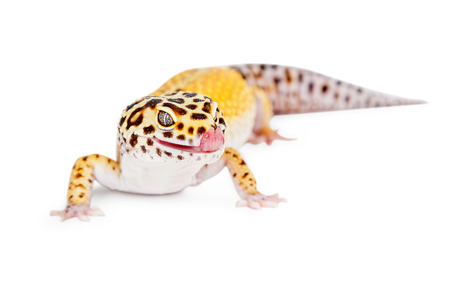 lagartija: lagarto gecko leopardo linda con la lengua fuera lamiendo los labios. Aislado en blanco.