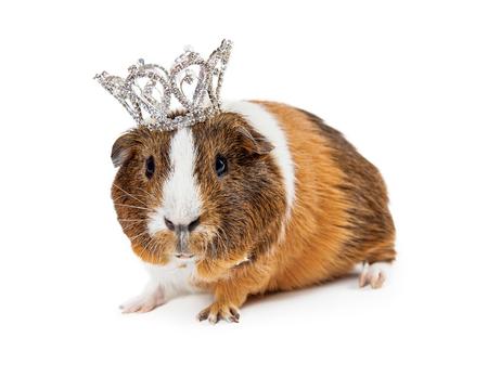 rhinestone: Cute little Guinea Pig wearing a rhinestone princess crown
