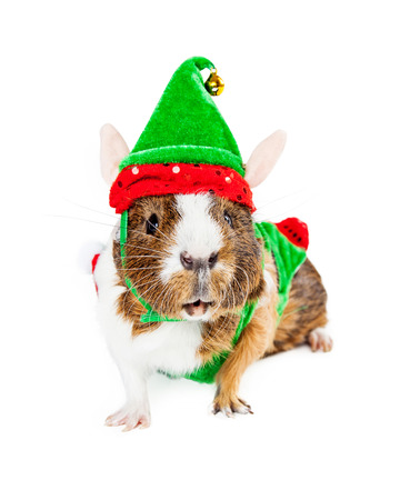Funny photo of a cute guinea pig wearing a Christmas elf costume