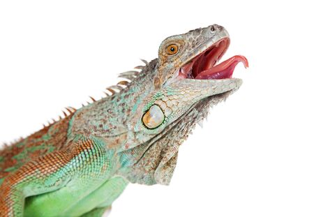 Portrait of a large iguana with mouth open and tongue sticking out