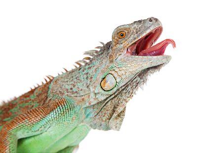 口を開いて、舌を突き出し大きなイグアナの肖像画