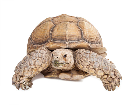 sulcata: Large Sulcata tortoise crawling and looking forward on a white studio background Stock Photo