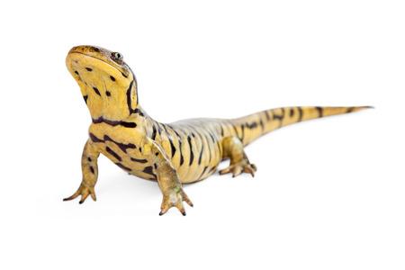 salamandra: Salamander de tigre sobre un fondo blanco de elevaci�n cabeza hacia arriba