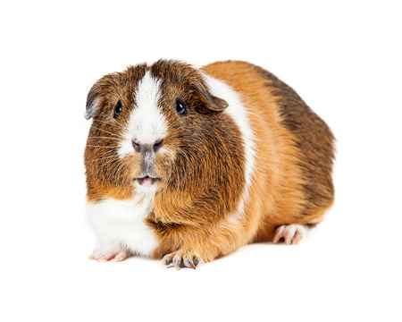 Cute little guinea pig laying on a white background looking forward into camera