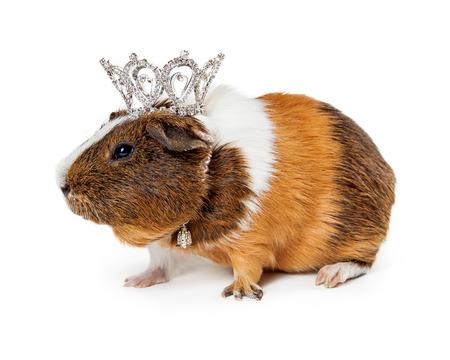 rhinestone: Cute little guinea pig wearing a rhinestone tiara and pretty collar Stock Photo