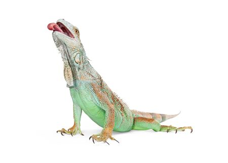 herpetology: Beautiful green iguana lizard reaching head up with tongue out. Isolated on white.