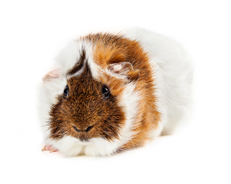 laying forward: Cute long hair guinea pig laying on white looking forward