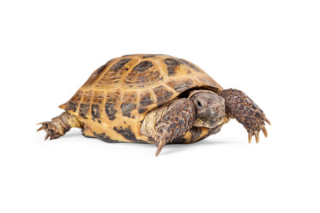 Russian Tortoise crawling - Isolated on white