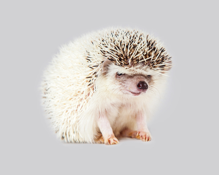 sit on studio: Adorable little hedgehog sitting on a gray color background Stock Photo