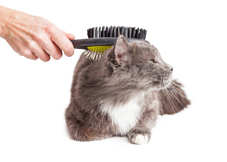 cat grooming: Person brushing a pretty grey cat that is laying down on a white background Stock Photo
