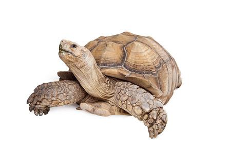 TORTOISE: Giant Sulcata Tortoise crawling on white background looking up Stock Photo