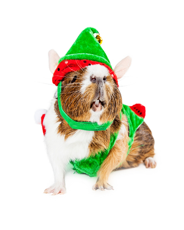 christmas guinea pig: Funny photo of a Guinea Pig wearing Christmas elf costume Stock Photo
