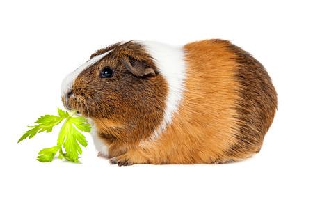 Side view of a cute pet guinea pig eating a celery leaf Foto de archivo