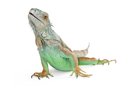 herpetology: Green iguana lizard stretching head up and to the side - Isolated on white
