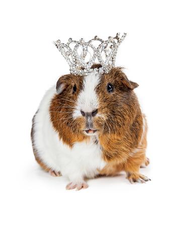 Adorable little guinea pig wearing a fancy diamond crown Stock Photo