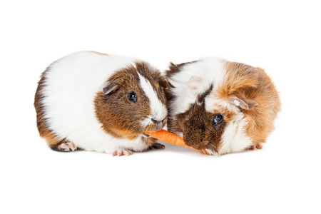Two cute guinea pigs together on white sharing a carrot stick Stock Photo