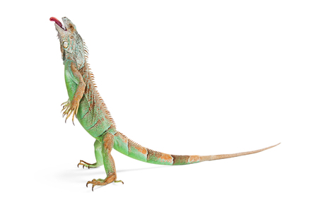Beautiful green iguana lizard standing up on white background with head up and tongue sticking out