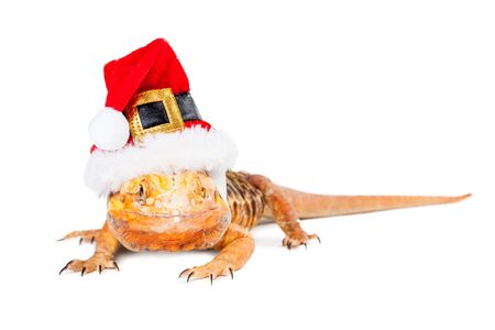 christmas dragon: Funny photo of Bearded Dragon lizard wearing a red Christmas Santa Claus hat Stock Photo