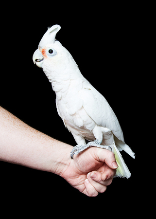 black hands: Beautiful pet Goffins cockatoo bird resting on the hand of a person with a black background