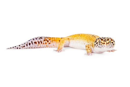looking into camera: Leopard gecko lizard on white looking into camera