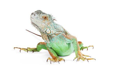 studio shots: Beautiful iguana lizard on a white background looking to the side