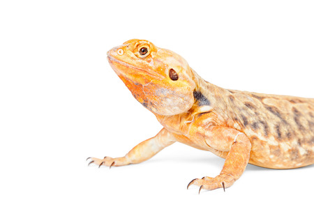 Close photo of an orange color bearded dragon lizard isolated on white with copyspace