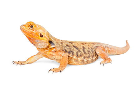 bearded dragon lizard: Beautiful orange color bearded dragon lizard crawling on a white background