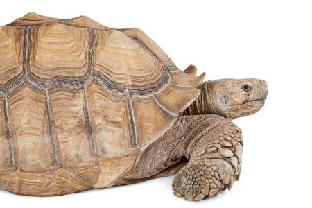 sulcata: Giant Sulcata tortoise closeup photo - Isolated on white Stock Photo