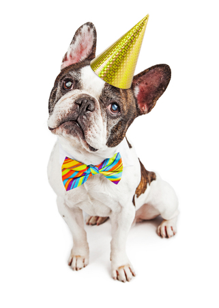 birthday party: Cute French Bulldog dressed for a birthday party in a hat and colorful bow tie Stock Photo