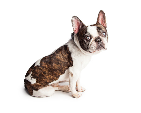 Blind French Bulldog breed dog sitting to the side over white and looking forward