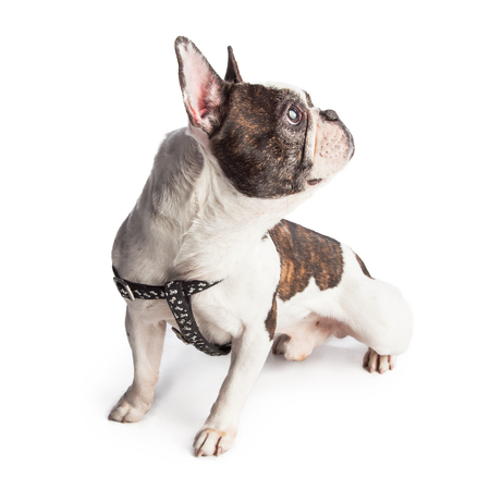 sit on studio: Beautiful French Bulldog wearing a harness sitting and looking to the side Stock Photo